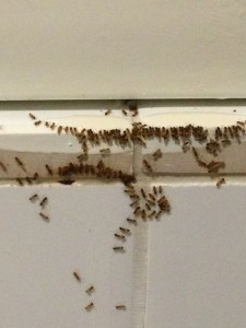 Ants feasting on AntOut ECO-Liquid Bait applied directly on ant trail.