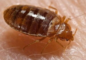 "Bed bug nymph, Cimex lectularius, as it was in the process of ingesting a blood meal from the arm of a ""voluntary"" human host. Photo Credit: Piotr Naskrecki"