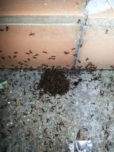 Crazy Ants feasting on AntOut Liquid-Bait